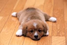 puppy-hardwood-floor