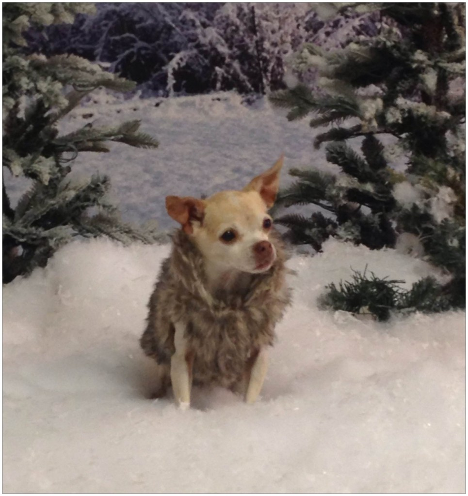 This is Ginger. She's a rescue dog. Her owner and trainer nursed her back to health after having serious hip problems. As you can see, she recovered well as she models a snug faux fur coat in faux snow.