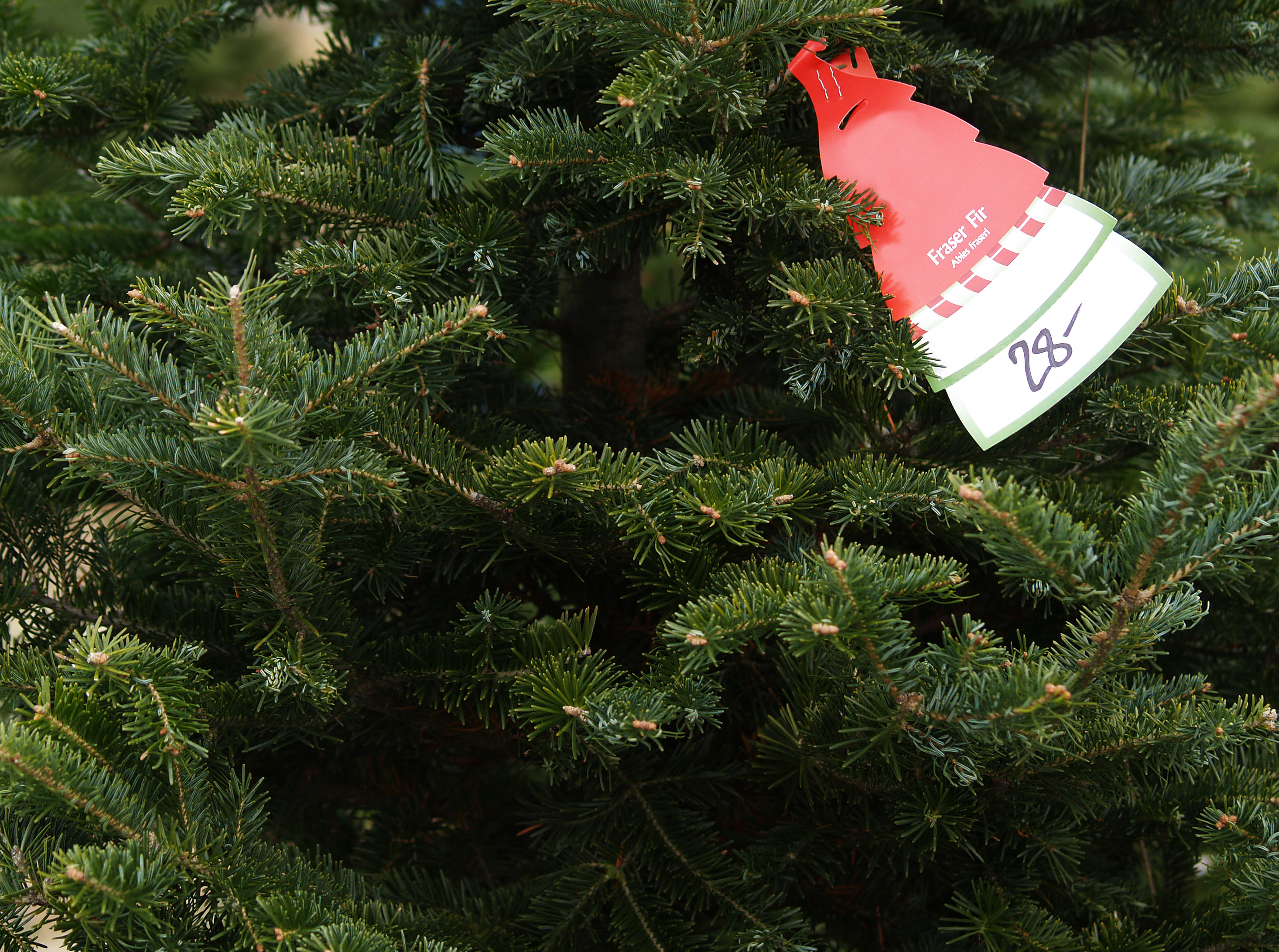 price-tag-fraser-fir-tree