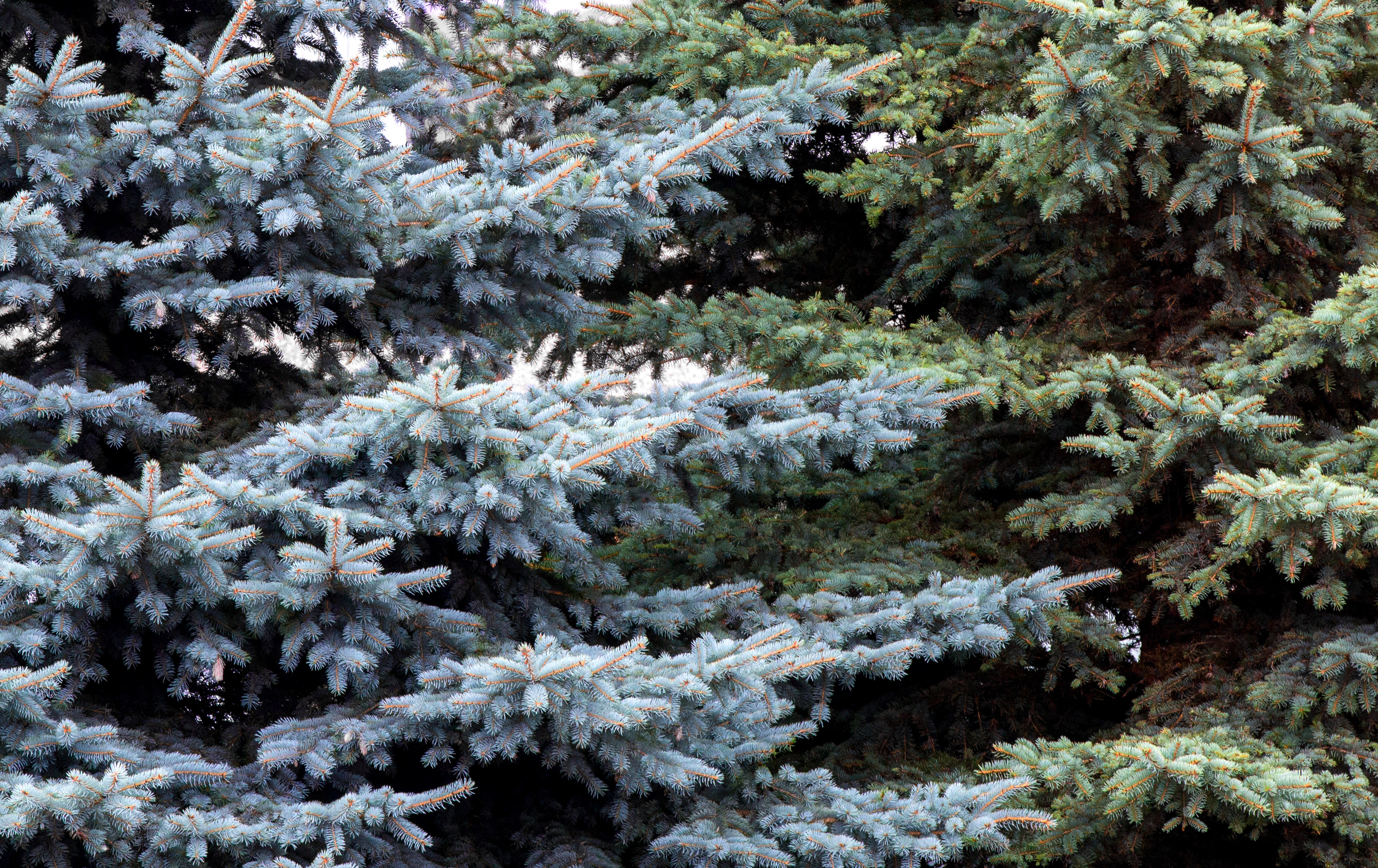 douglas-fir-branches