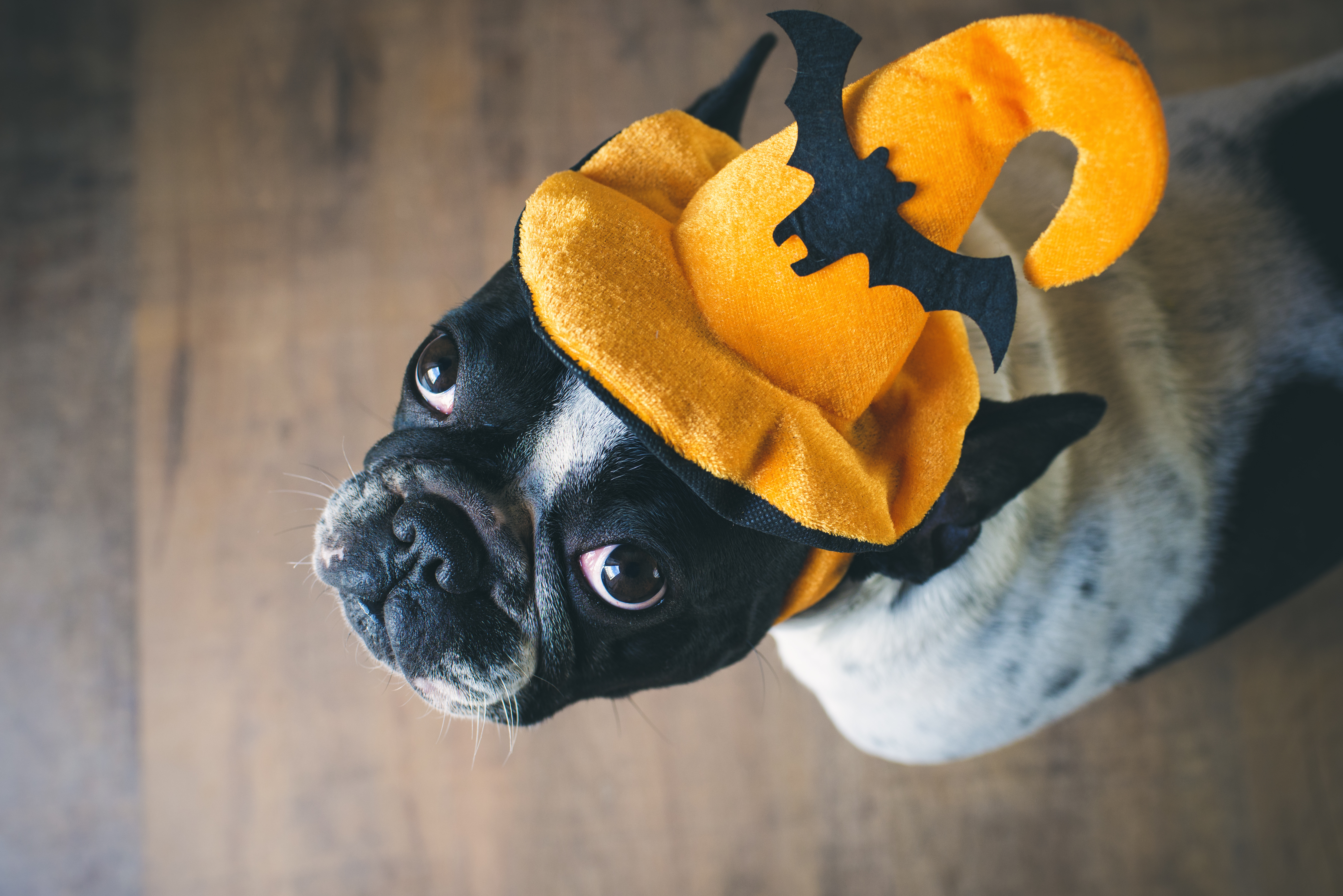 french-bulldog-halloween-costume