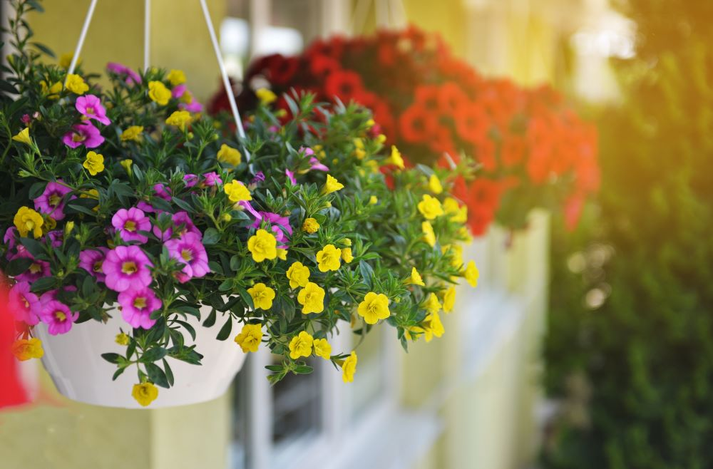 How To Care For Hanging Plants - Remove Dead Flowers